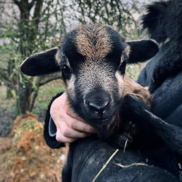 kleines Lamm schaut direkt in die Kamera