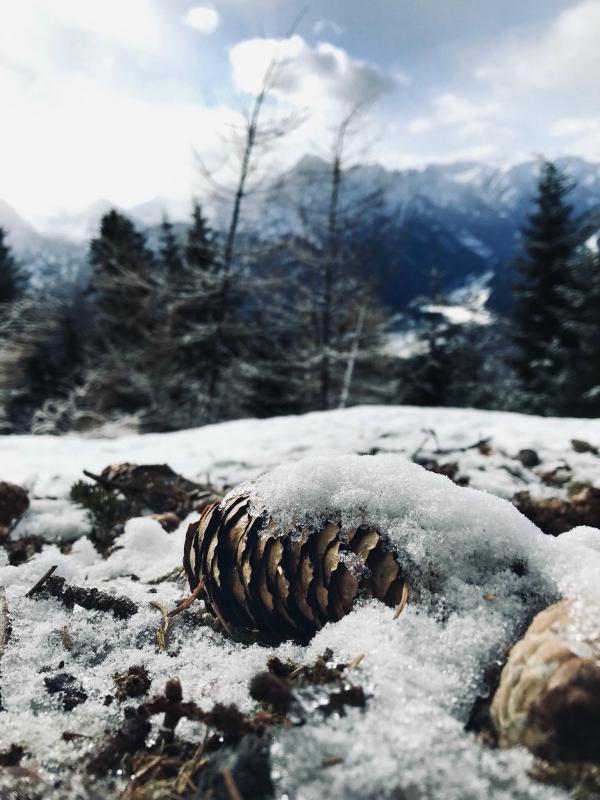 Tannenzapfen in Österreich